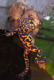Fire-Bellied Toad swimming