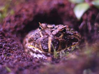 Cranwells Horned Frog burrowed in Eco-earth substrate
