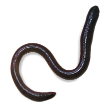 Earthworm Live Food Care Sheet