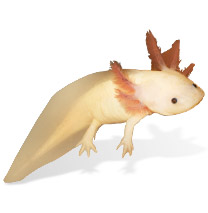 Axolotl Caresheet - Ambystoma mexicanum