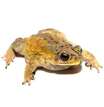 Black-Spined Toad Care Sheet - Bufo melanostictus