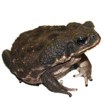 Cane Toad Care Sheet - Bufo Marinus Care Sheet - Click to open