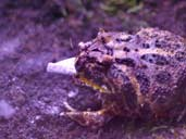 Horned frog/pacman frog eating locust