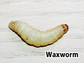 Waxworm- a treat for Fire-bellied Toads