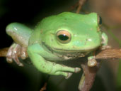 White tree Frog Branch Climbing