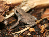 Wild Toad spotted at Hartsholme Country Park in Lincoln, UK